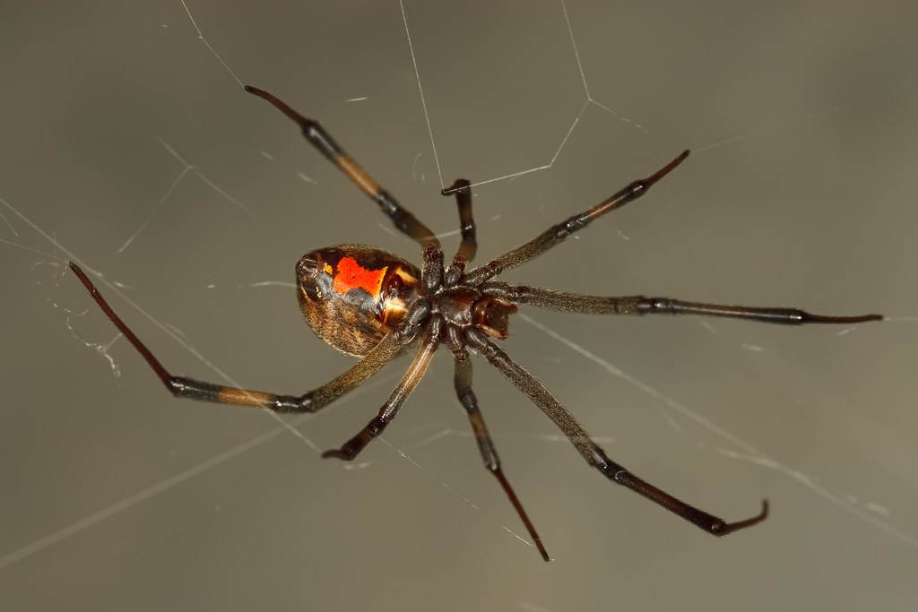 orange county house cleaning brown widow